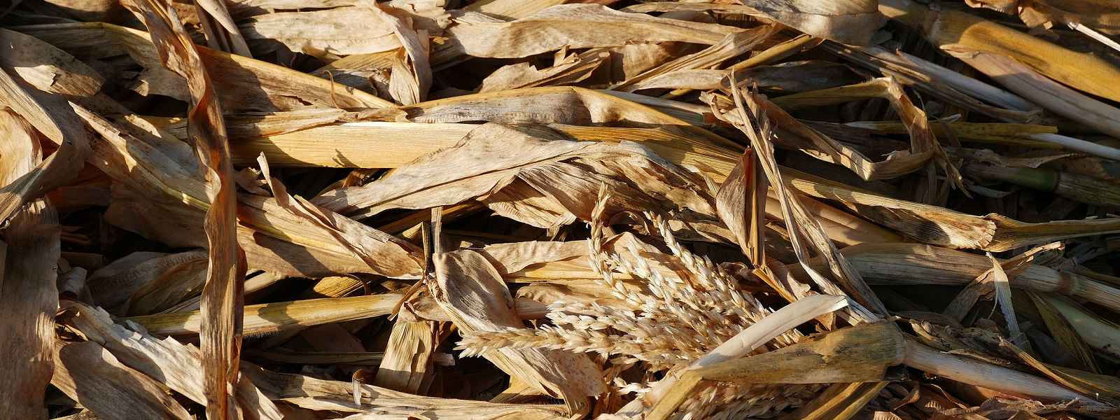 rotten corn plant residues, garden remains, dried corn plant,