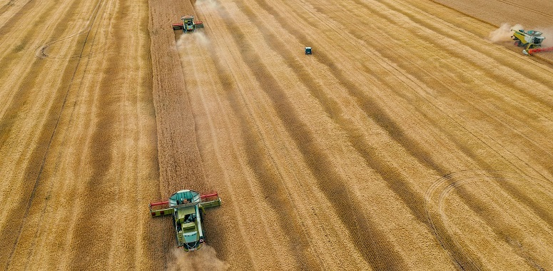 Combine harvesters gathers wheat at on yellow grain field in sunlight, aerial view from drone, agriculture crop season with machinery work