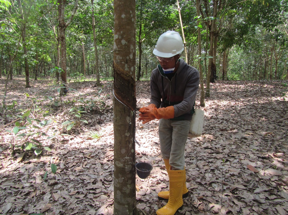 Our commitment to sustainable natural rubber production in Indonesia